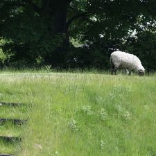Sheep roam freely around the village