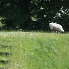 Sheep roam freely around the village