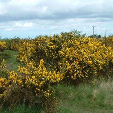 Common gorse photographed in Bryn Sannan near the Crooked Horn. Widespread in Britain and Northern Ireland, normally flowers February to May and smells like coconut