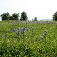 Bluebells on Brynford Common